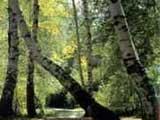 新疆阿勒泰桦林公园