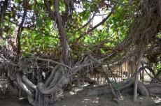 新疆和田葡萄王树