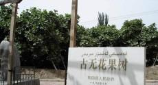 新疆和田无花果王