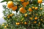 城固柑桔旅游节