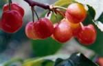 西乡樱桃旅游节