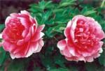 汉中牡丹节