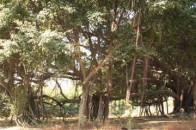 勐海打洛独树成林景点