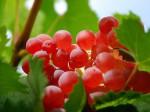 新疆和田红葡萄