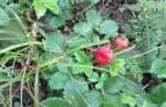 新疆野草莓